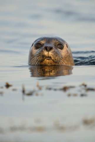 A harbour seal at the surface. ©Alex Mustard/2020VISION
