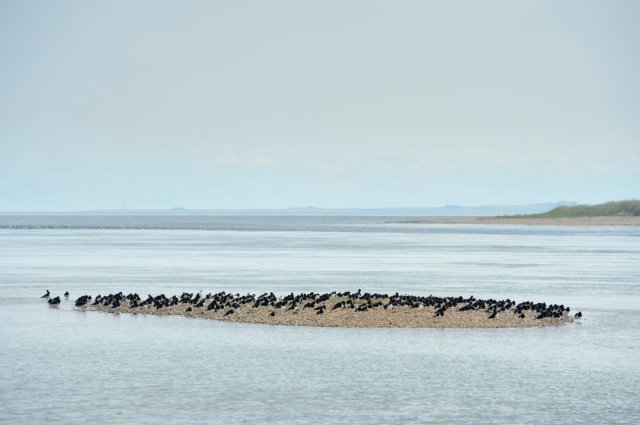 Waders roosting on a shingle island at Loch Fleet NNR. ©Lorne Gill/SNH