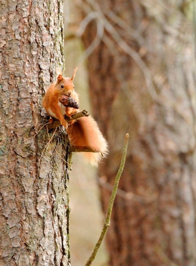 Red squirrel at Tentsmuir NNR. ©Lorne Gill/SNH