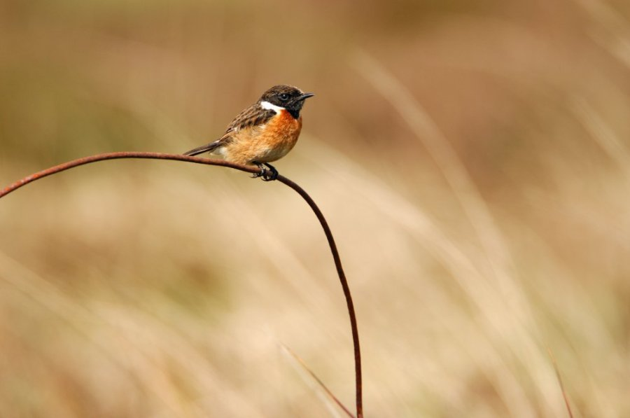 Stonechat. ©Lorne Gill