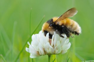 A great yellow bumblebee feeding on clover. ©Lorne Gill/SNH