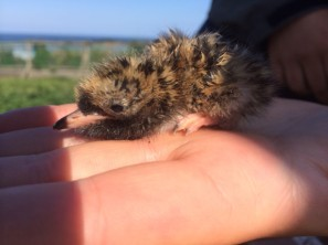 A newly-hatched tern chick. © David Steel