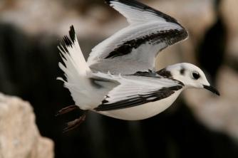 A kittiwake chick fledges. © David Steel
