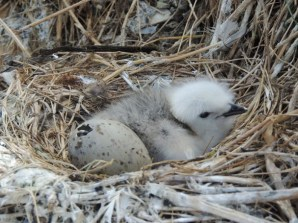 A kittiwake chick. © David Steel