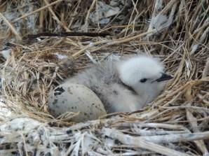 A kittiwake chick. © David Steel
