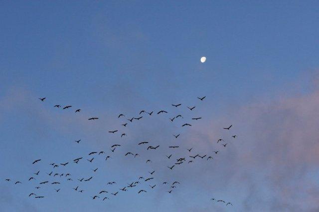 Greylag geese. ©Lorne Gill/SNH