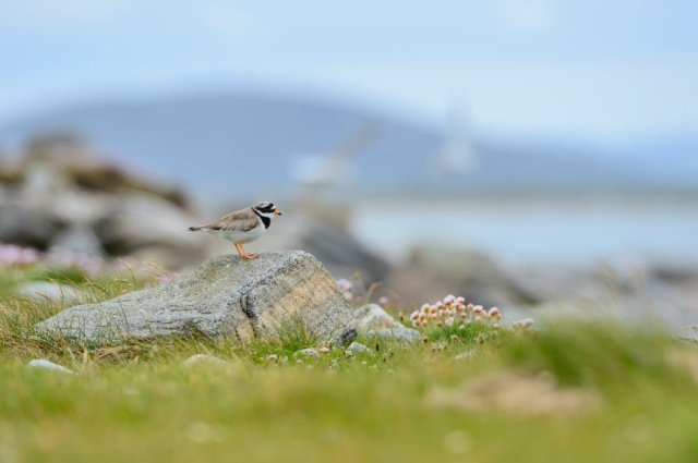 A ringed plover on the South Uist machair. ©Lorne Gill