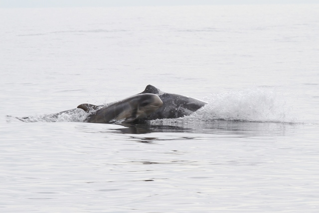 Risso's dolphin. ©Nicola Hodgkins/Whale and Dolphin Conservation (WDC)