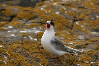 A young tern. © David Steel