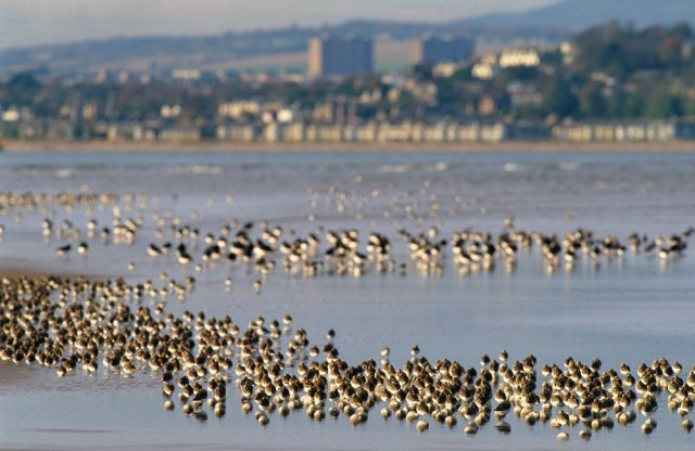 Flocks of Waders at Tentsmuir Point ©Lorne Gill/SNH