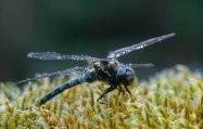 Male azure hawker dragonfly.