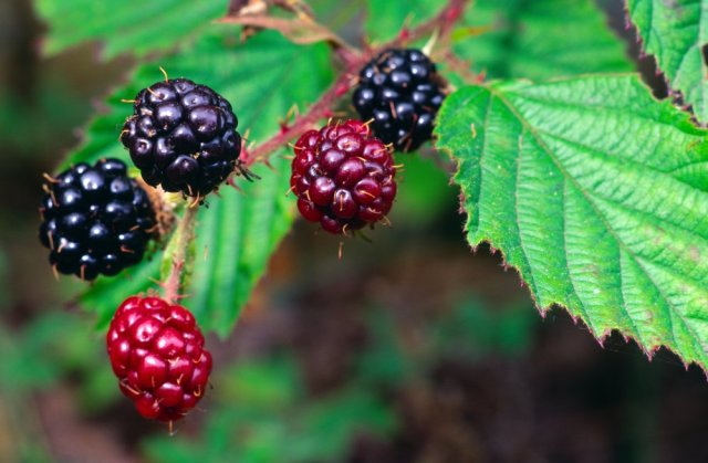 Bramble or Blackberry fruits. ©Lorne Gill/SNH