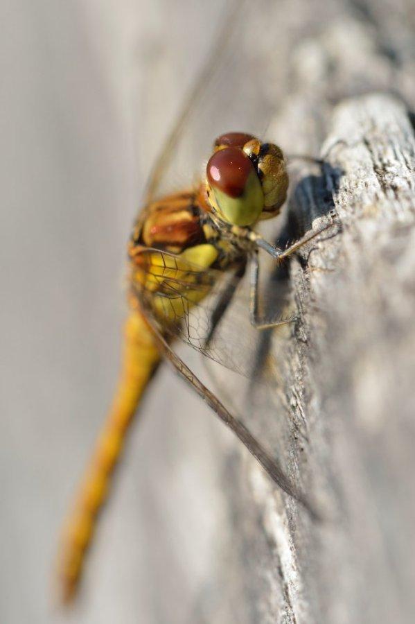 A female highland darter dragonfly.