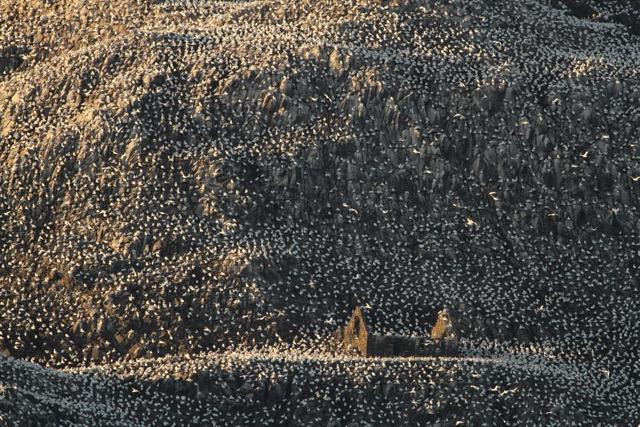 Gannets on the Bass Rock.