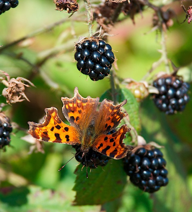 Comma butterfly feeding on bramble fruit. ©John Baxter/SNH