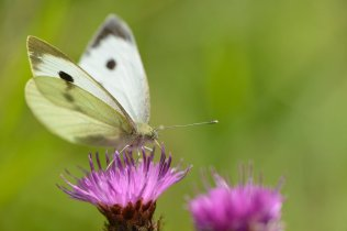 A large white butterfly.