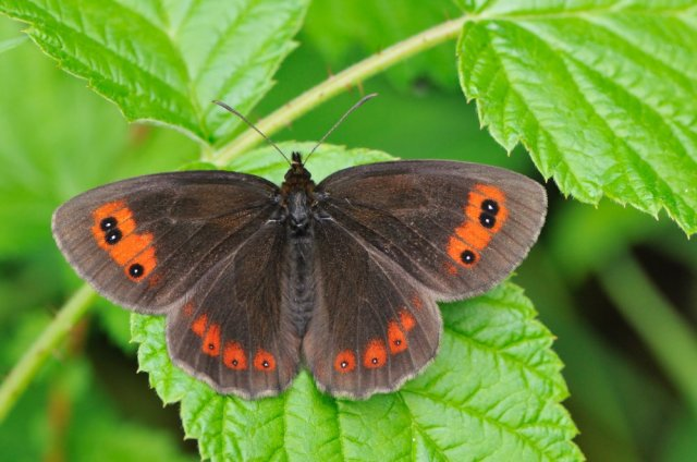 Scotch Argus butterfly. ©Lorne Gill/SNH