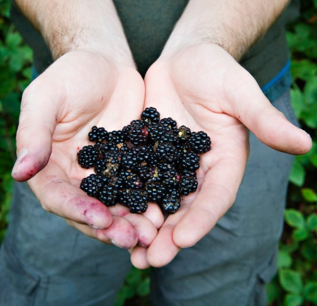 A handful of juicy berries. ©beckyduncanphotographyltd/SNH