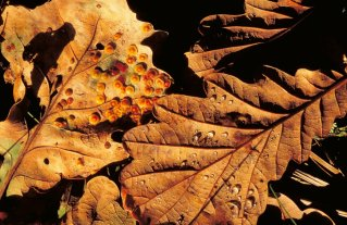 Oak leaves covered with spangle galls. © Lorne Gill/SNH