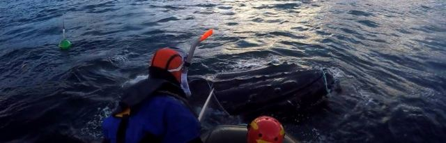 A humpback entangled in creel ropes , Loch Eiriboll, January 2016. Photo courtesy of British Divers Marine Life Rescue (BDMLR)