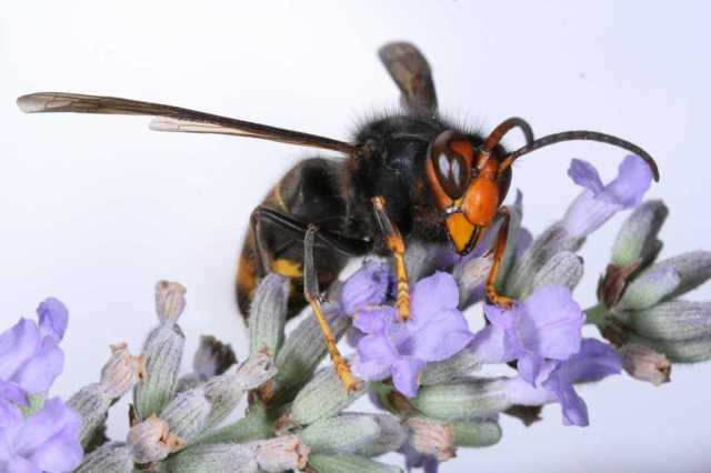 Asian hornet Vespa velutina. © Jean Haxaire