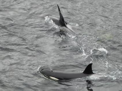 Encounter with an orca pod the previous week at Gulberwick © Craig Nisbet