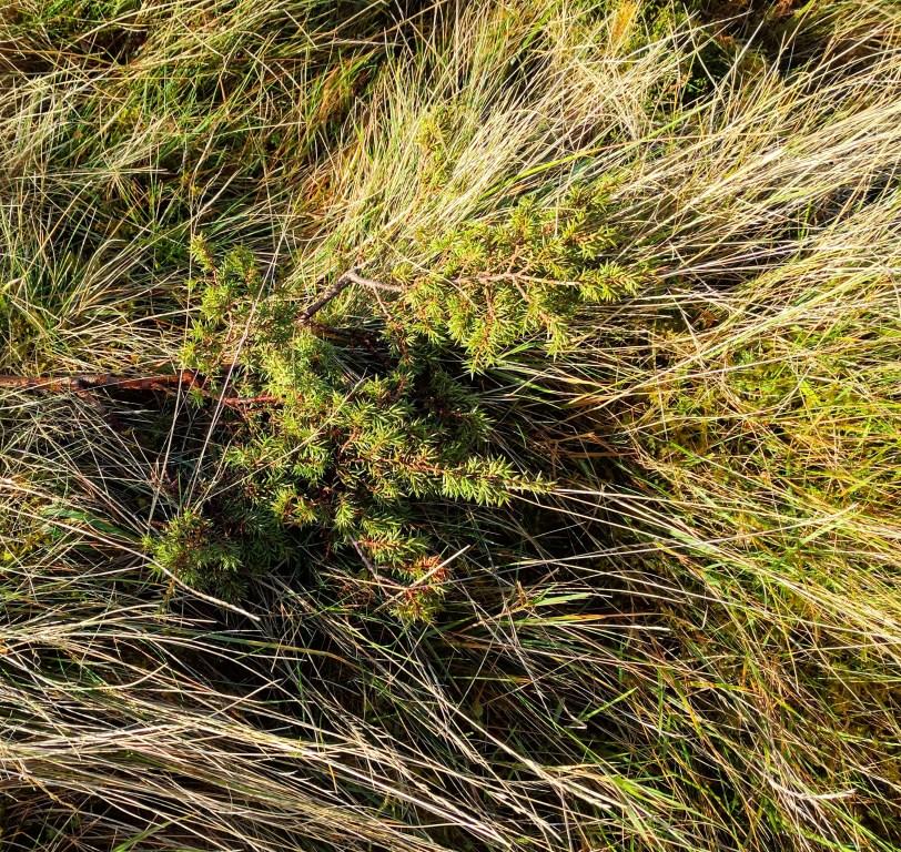 New juniper growth. © Helen Taylor