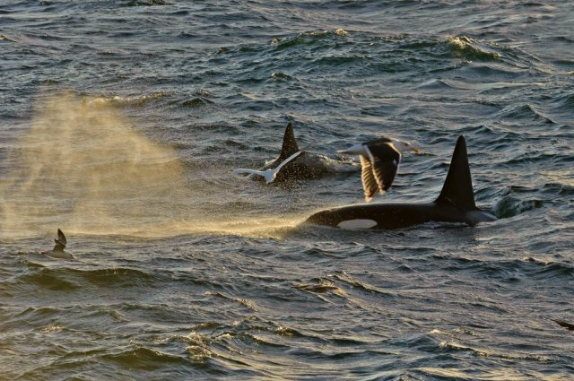 A small pod of killer whales, Shetland Isles. ©Chris Gomersall/2020VISION