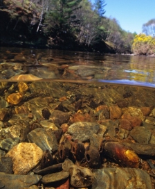 Freshwater pearl mussels feeding in a highland river. ©Sue Scott/SNH