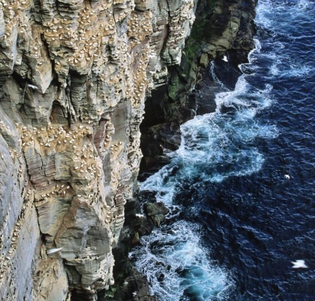 Seabird colonies nesting on the sandstone secliff at the Noup, Isle of Noss NNR. ©Lorne Gill/SNH
