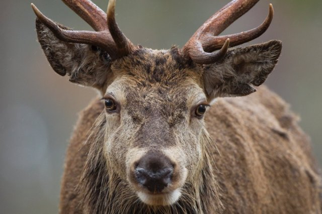 Face to face with a red deer. ©Pete Cairns/2020VISION