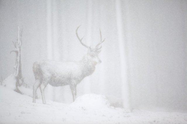 Red deer in heavy snowfall. ©Peter Cairns/2020VISION