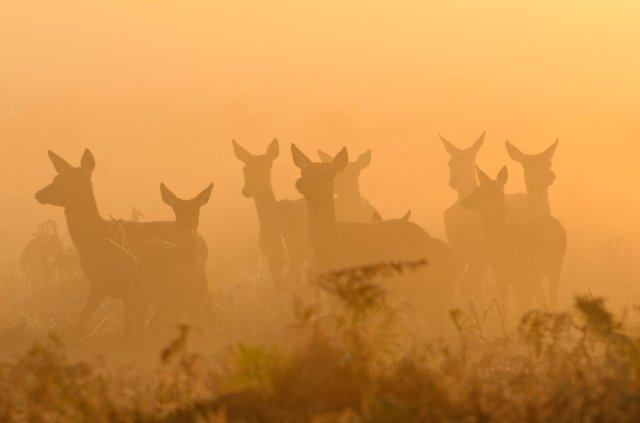 Red deer hinds in the mist at sunrise. ©Terry Whittaker/2020VISION