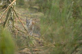 A European lynx at the Highland Wildlife Park.