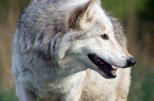Wolf in the Highland Wildlife Park, Strathspey. ©Lorne Gill