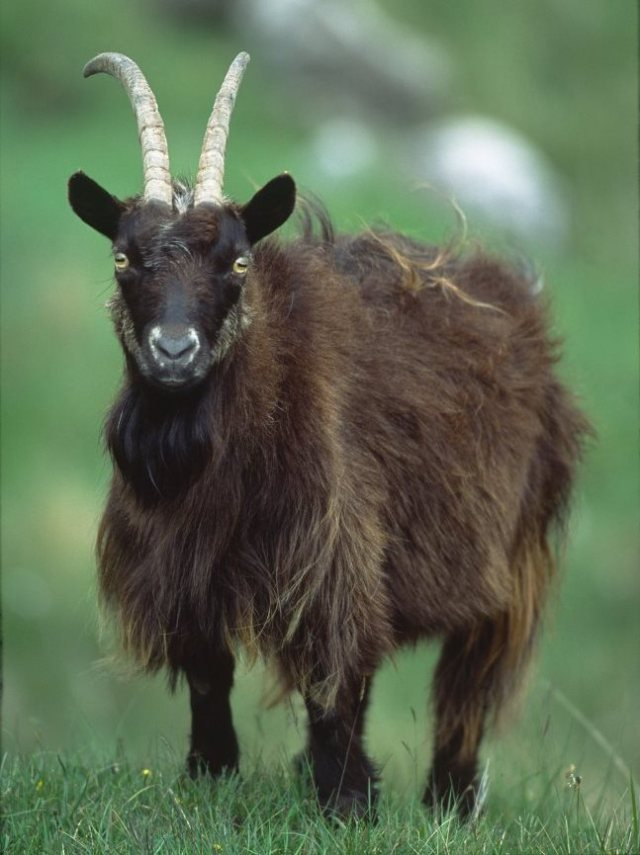 A feral goat. ©Laurie Campbell/SNH