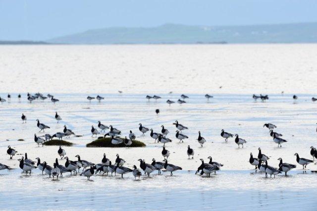 Barnacle geese, Islay. ©Lorne Gill/SNH