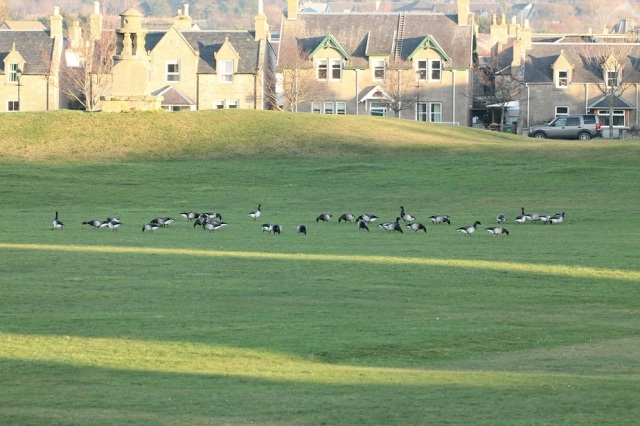 Brent geese on Nairn cricket pitch. © Martin Cook