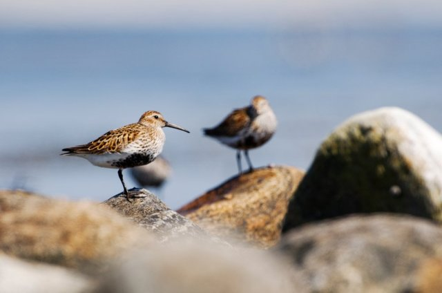 Dunlin in breeding plumage, South Uist. ©Lorne Gill/SNH