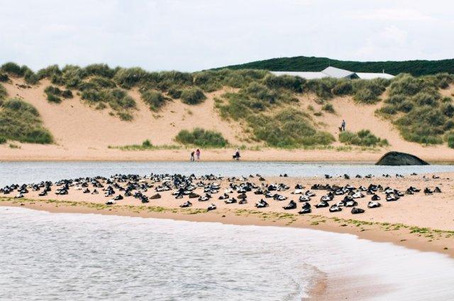 Eider Ducks resting at Sands of Forvie NNR.