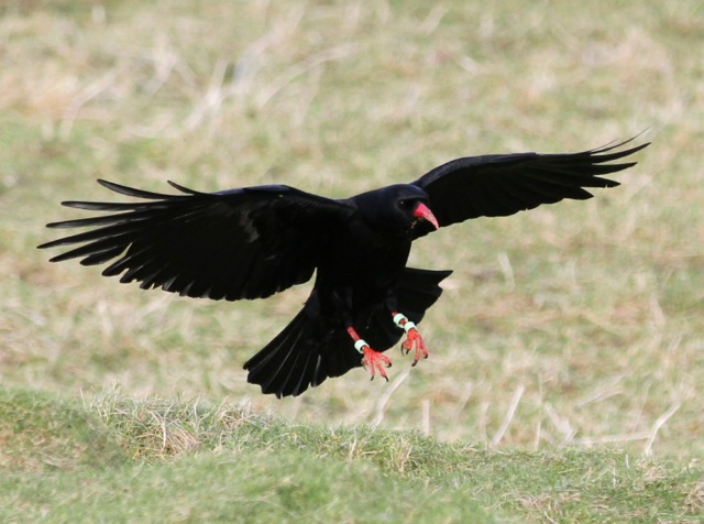 Red-billed chough. Gordon Yates (www.gordon-yates.com