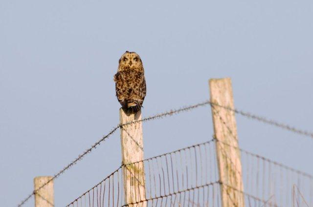 Short-eared owl. ©Lorne Gill