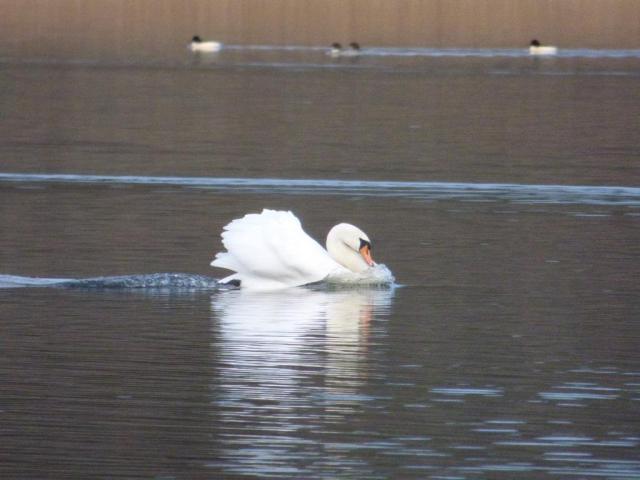 Aggressive male mute swan.