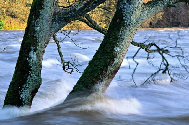 Oak trees submerged by the flood waters of the River Tay.