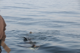 A basking shark feeding swimming towards a boat. © Suz Henderson/SNH