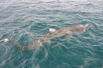 A basking shark. © Ben James/SNH