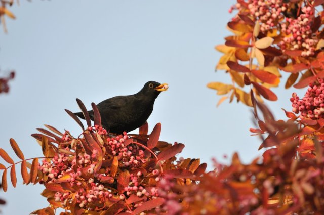 Blackbird feeding on an ornamental rowan tree ©Lorne Gill/SNH