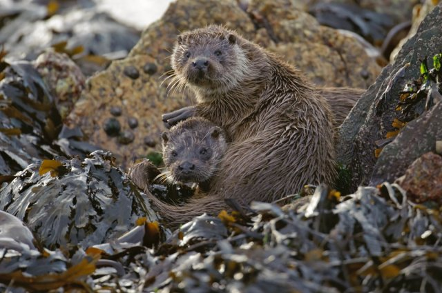 Two well-grown otter cubs about 6 months old grooming each other on sea shore. ©Chris Gomersall/2020VISION.