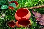 Scarlet elf cup. ©Lorne Gill/SNH