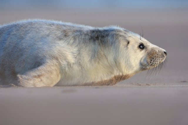Grey seal pup. ©Lorne Gill/SNH